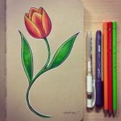 Tulip - color pencils on toned paper